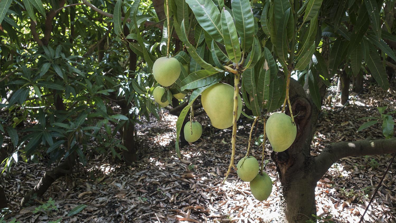 Come Piantare Il Mango mango made in sicily, l'alternativa possibile per l